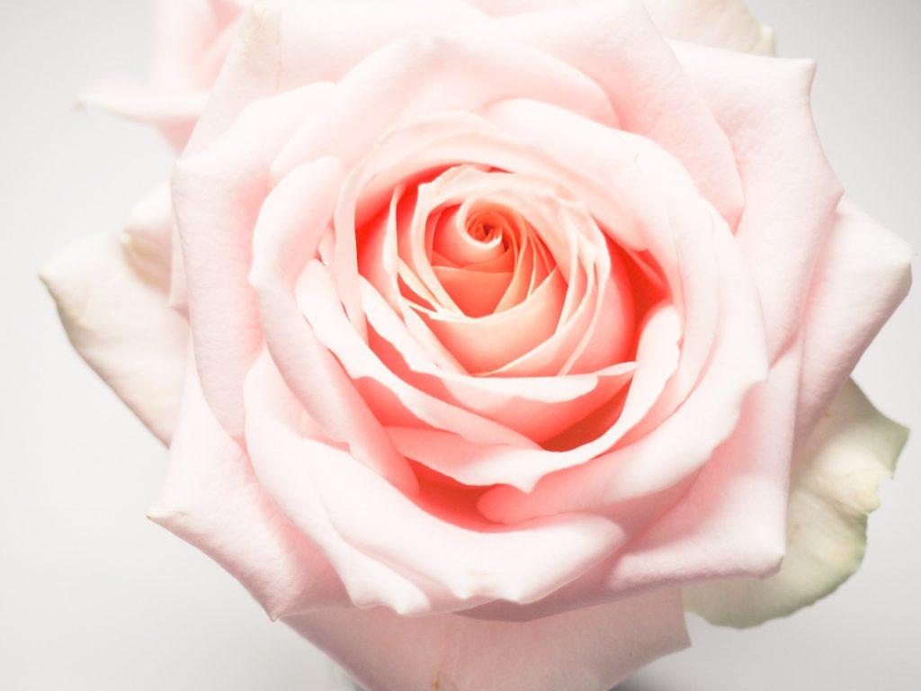 Rose beyond romance